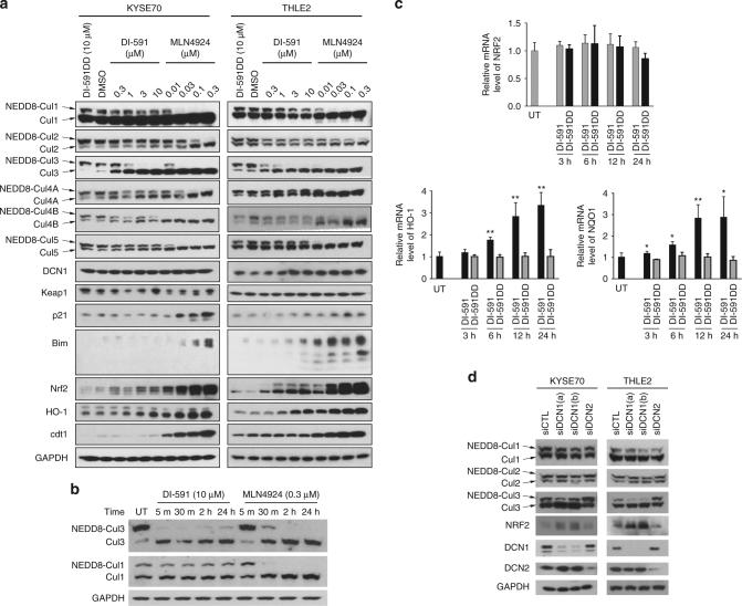 DI-591 selectively and rapidly inhibits neddylation of cullin 3. a Western blotting of neddylated and un-neddylated cullin family members and several representative well-known substrates of cullin CRLs in KYSE70 esophageal cancer cells and THLE2 immortalized liver cells. Cells were treated with DCN1 inhibitor DI-591 or NAE E1 inhibitor MLN4924 at indicated concentrations, or DI-591DD at 10 µM for 24 h. Protein levels of neddylated and un-neddylated cullin family members and several known substrates of cullin CRLs were examined by western blotting analysis. GAPDH was used as a loading control. b Inhibition kinetics of neddylation of cullin 1 and 3 by DI-591 and MLN4924 in THLE2 liver cells. Cells were treated with DI-591 at 10 µM or MLN4924 at 0.3 µM at indicated time points. Protein levels of neddylated and un-neddylated cullin 1 and 3 were examined by western blotting analysis. GAPDH was used as a loading control. c qRT-PCR analysis of mRNA levels of NRF2 and NRF2-reguated genes in THLE2 cells. Cells were treated with DI-591 at 10 µM, DI-591DD at 10 µM or DMSO for indicated time points. The relative mRNA levels of NRF2, NQO1 and HO-1 were examined by quantitative real-time RT-PCR assay. GAPDH was used as an internal control. The averages and standard deviations for each column were calculated from total nine samples obtained from three independent experiments (each experiment with triplicates). P -value from t-test: * P