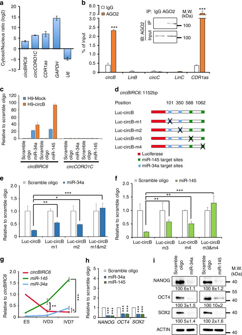 C ircBIRC6 interacts with and sequester miR-34a and miR-145. a RT-qPCR analysis of cytoplasmic-to-nuclear expression ratios of circBIRC6 , circCORO1C , CDR1as , GAPDH , and U6 in hESCs. b RIP analysis of circBIRC6 , linear BIRC6 (linB) , circCORO1C , linear CORO1C (LinC) , and CDR1as in hESCs using antibodies against AGO2. Immunoblotting (IB) of immunoprecipitated (IP) AGO2 protein is shown. The RIP enrichment of the AGO2-associated circular RNAs (as indicated) was measured by RT-qPCR, and each value was normalized to the level of input RNA used in RIP analysis. c RT-qPCR analysis of circBIRC6 or circCORO1C pulled-down by biotinylated miR-34a or miR-145 mimics in hESCs. d Schematic illustration showing the 3′ UTR of luciferase reporters containing the complete circBIRC6 sequence (luc-circB) or circBIRC6 sequence with deletions of miR-34a (luc-circBm1 and luc-circBm2) or miR-145 (luc-circBm3 and luc-circBm4) binding sites. e , f Reporter assays showing the luciferase activity of luc-circB and luc-circBm1-m4 in 293T cells co-transfected with e miR-34a or f miR-145 mimics, or a scrambled oligonucleotide (control). g RT-qPCR analysis of circBIRC6 , miR-34a , and miR-145 expression during hESC differentiation. IVD: in vitro differentiation day. h RT-qPCR and i immunoblot analyses of the indicated gene and protein expression in hESCs transfected with miR-34a or miR-145 mimics, or scrambled oligonucleotide 3 days post transfection. Protein level quantification was normalized to actin and shown below each panel. Quantitative data from three independent experiments is presented as mean ± SD (error bars). P -values were determined by two-tailed two-sample t -tests (* P