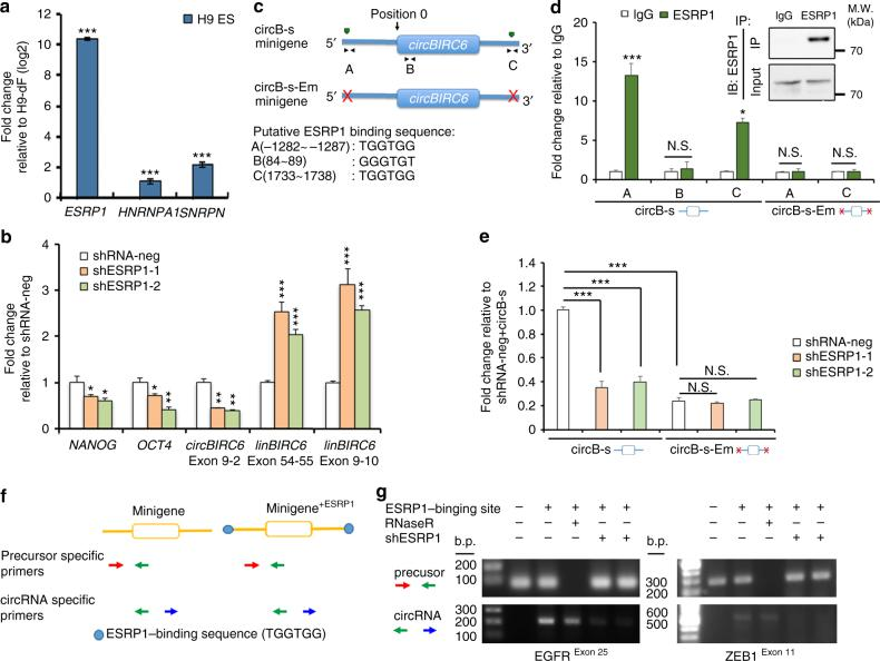 ESRP1 promotes the biogenesis of circ BIRC6 in hESCs. a RT-qPCR analysis of the splicing factors (as indicated) in H9 hESCs. b RT-qPCR analysis of the expression of circBIRC6 (exon 9–2), linear BIRC6 (linBIRC6 exon 9–10 and exon 54–55), NANOG , and OCT4 in ESRP1-knockdown hESCs (shESRP-1 and shESRP-2). c Schematic illustrating the putative ESRP1-binding sites on the flanking introns in the circB-s minigene. The 5′ terminus of the circular exons of circBIRC6 was defined as position 0. Putative ESRP1-binding sites A, B, and C are located in the intron at the 5′ terminus of the circBIRC6 exon (position: −1282 to −1287), within the circBIRC6 exon (position: 84–89), and on the intron at the 3′ terminus of the circBIRC6 exon (position: 1733–1738). d RIP analysis of ESRP1-binding to circB-s and circB-s-Em minigenes in hESCs. Bound complexes were pulled-down using an antibody against ESRP1. RT-qPCR was then used to measure circB-s binding to ESRP1. Values were normalized to the level of background RIP, as detected by an IgG isotype control. Inserted panel: Immunoblotting (IB) of immunoprecipitated (IP) ESRP1 protein. e RT-qPCR analysis of the expression of circBIRC6 relative to GAPDH in hESCs. Cells were co-transfected with shRNA that target ESRP1 and a circBIRC6 minigene (circB-s), or circBIRC6 minigene containing deleted ESRP1-binding sites (circB-s-Em). f Schematic showing sites of insertion of ESRP1-binding sequence and the location of primers used for detecting the two minigenes (EGFR and ZEB1). g RT-PCR analysis using circRNA-specific or precursor specific primers on RNA from hESCs that were transfected with the indicated minigenes, with or without shRNA-mediated disruption of ESRP1. Quantitative data from three independent experiments is presented as mean ± SD (error bars). P -values were determined by two-tailed two-sample t -tests (* P