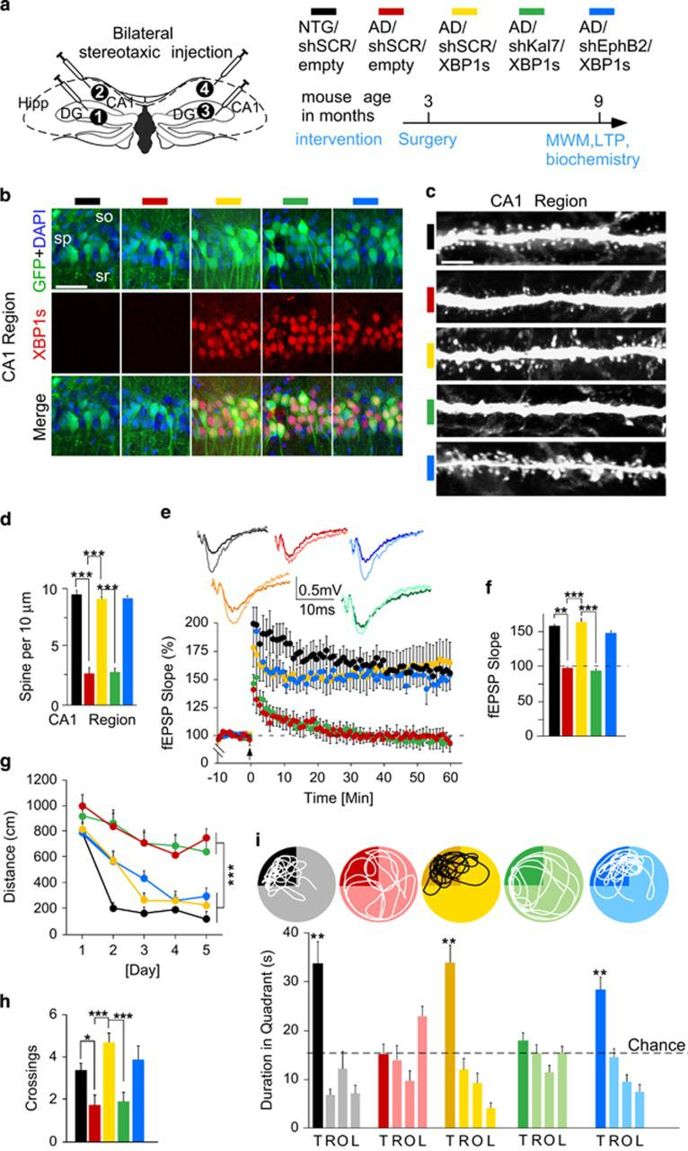 Depletion of Kalirin-7, but not EphB2, abolishes XBP1s-associated rescue of synaptic plasticity and memory in 3xTg-AD mice. ( a ) Left, stereotaxic injection of lentiviral vectors into the hippocampus of 3xTg-AD (AD) and nontransgenic (NTG) control mice. Right, timeline of Morris water maze (MWM) test and subsequent biochemical analysis of mice. ( b ) Immunofluorescence images depicting GFP-positive cells with DAPI and XBP1s stainings in CA1 region. Scale bar, 20 μm. ( c , d ) Spine density in CA1 region (number of slice per mouse/number of mice: 5/7 per group). Kruskal–Wallis test: H =74.2712, P
