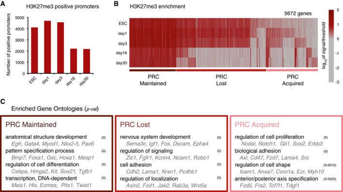 PRC occupancy at gene promoters is highly dynamic throughout all stages of the neuronal differentiation Numbers of PRC + promoters from ESC to day 30. In terminally differentiated neurons, 2,178 genes are marked by H3K27me3. Dynamic changes in H3K27me3 presence at gene promoters. Vertical lines represent each of the promoters marked by H3K27me3 + in at least one time point. Throughout differentiation, 1,408 genes are marked by H3K27me3 (PRC Maintained), 2,699 lose H3K27me3 (PRC Lost), and 1,565 gain H3K27me3 (PRC Acquired). Color represents number of reads in transcription start site (TSS) window, scaled for visualization. Examples of enriched GO terms and gene examples among the groups of genes classified as PRC Maintained, Lost, and Acquired, using as background all genes.