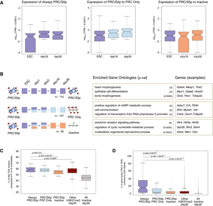 Genes that maintain the PRC /S5p promoter state throughout differentiation are often morphogenic TF s linked to different tissue identities and show high coverage by CpG islands Related to Fig 7 . Similar low levels of mRNA expression are detected in ESC, day 16, and day 30 neurons for genes that are PRC/S5p in ESCs and remain silent through differentiation either by retaining the PRC/S5p promoter state, or by becoming PRC Only or Inactive. Colors indicate gene groups according to panel (B). Examples of enriched Gene Ontologies and associated genes of the three groups described in panel (A), using as background all genes. PRC/S5p genes that retain the PRC/S5p state throughout differentiation include important morphogenetic TFs for different cell lineages. Permute P ‐value (GO‐Elite) is shown. G/C composition of promoter windows for different groups of genes. Always PRC/S5p promoters are more enriched in G/C nucleotides compared to PRC/S5p genes that resolve to Inactive, or to the group of additional genes marked by H3K27me3 in day 30. Inactive genes in day 30 are shown for comparison. P ‐values were calculated using Wilcoxon rank‐sum test. Overlap of CpG islands with gene bodies for different groups of genes. The gene bodies of Always PRC/S5p are significantly more covered with CpG islands than PRC/S5p genes that become PRC Only or Inactive, or than the group of other H3K27me3 + genes in day 30. Inactive genes in day 30 are shown for comparison. P ‐values were calculated using Wilcoxon rank‐sum test.