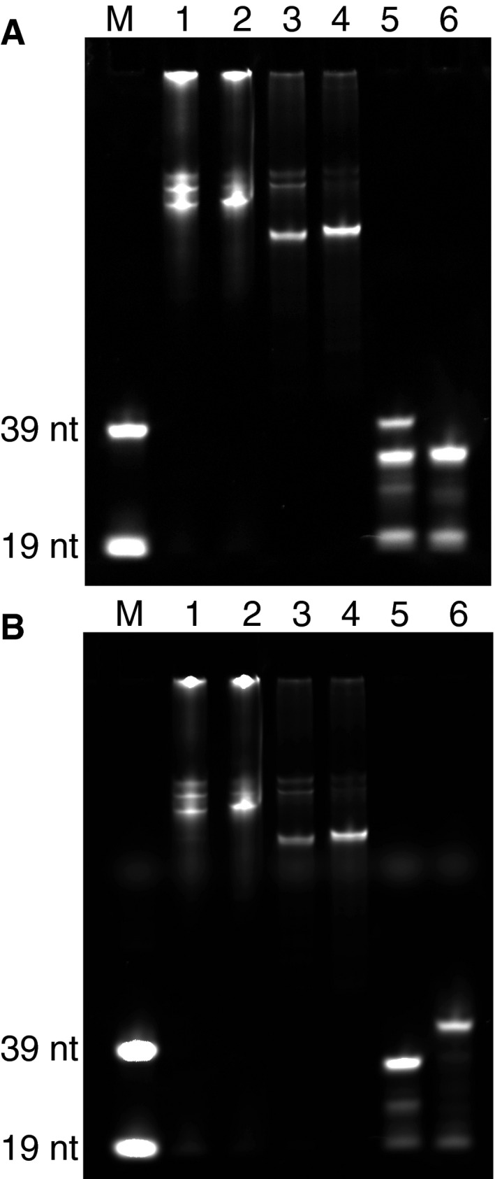 Products from the different steps of the FISH probe production protocol Products were run on a 10% polyacrylamide gel and imaged in (A) Cy3 and (B) Cy5 channels. (M): Cy3‐ and Cy5‐labeled 39‐nt and 19‐nt ssDNA probes were used as size references. (1) and (2): the initial fluorescent elongation product for the two rounds of FISH probe generation, respectively. (3) and (4): SchI digestion of the elongation products for rounds one and two, respectively. (5) and (6): Lambda exonuclease treatment and gel‐purified product for rounds one and two, respectively.