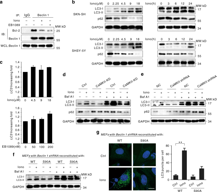 CaMKII induces autophagy through phosphorylation of Beclin 1 at Ser90 and the subsequent ubiquitination at Lys117. a Dissociation of the Bcl-2-Beclin 1 Complex. SK-N-SH cells treated with 6 μM ionomycin or 100 nM EB1089 were lysed and incubated with anti-Beclin 1 or normal mouse IgG antibodies prior to western blot analysis. The resulting immunoprecipitates were subjected to western blot analysis using the indicated antibodies. TCL, whole-cell lysate. b Autophagy induced by ionomycin in neuroblastoma cells. Both cell lines were treated with 6 μM ionomycin for the indicated periods or various concentrations of ionomycin for 24 h. The total cell lysates were analyzed for LC3 lipidation by immunoblotting. c LC3 mRNA expression was unaffected in cells treated with ionomycin or EB1089. The SK-N-SH cells were untreated or were treated with ionomycin or EB1089 of indicated concentration for 24 h. The expression level of LC3 mRNA was detected by real-time RT-PCR. The error bars represent the standard deviations (SD) calculated from three parallel experiments. d LC3 lipidation and p62 degradation in CaMKII-KD-expressing MEFs cells or control cells (Ctrl). MEFs cells transfected with a control vector or plasmids encoding His-CaMKII-KD were treated with 6 μM ionomycin for 24 h, then incubated for 2 h in the presence or absence of 100 nM Baf A1. The whole-cell extracts were subjected to western blot using the indicated antibodies. e LC3 lipidation and p62 degradation in CaMKII shRNA MEFs cells or negative control cells (NC). MEFs cells transfected with negative control or CaMKII shRNA were treated with 6 μM ionomycin for 24 h, then incubated for 2 h in the presence or absence of 100 nM Baf A1. The whole-cell extracts were subjected to western blot using the indicated antibodies. f LC3 lipidation in Beclin 1-deficient MEFs expressing WT Beclin 1 or S90A-Beclin 1. The cells were incubated in 6 μM ionomycin for 24 h, and total cell lysates were analyzed for LC3 lipidation by means