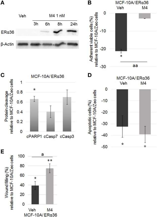 ERα36 overexpression enhancing M4-dependent migration but not proliferation or apoptotic escape. (A) Representative western blot of a M4 kinetic treatment of the MCF-10A cell line. M4 (1 nM) stimulated ERα36 protein expression. β-Actin was used as a loading control. N = 3. (B) Quantification of MCF-10A/ERα36 cell viability by crystal violet assay after 48 h vehicle or 1 nM M4 exposure. Histogram depicts the percentage of MCF-10A/ERα36 viable cells compared to MCF-10A/Zeo cells after treatment. M4 triggered a significant 18. 4% increase of MCF-10A/ERα36 cell proliferation rate. Each bar represents mean ± SD. N = 5. * = significantly different from MCF-10A cells. aa = significantly different from MCF-10A/ERα36 vehicle treated cells (* p