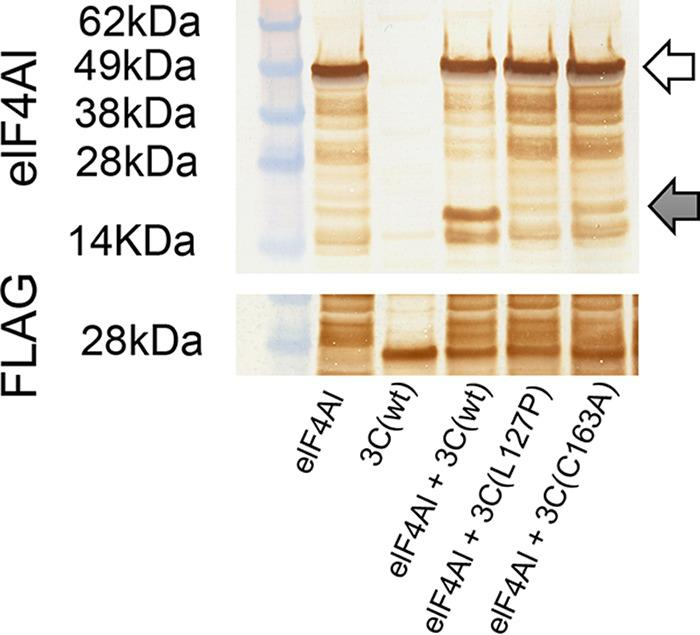 Western blot analysis of cell-free reactions with anti-eIF4AI and anti-FLAG antibodies. White arrows indicate unprocessed host protein. Gray arrows indicate processed fragments.