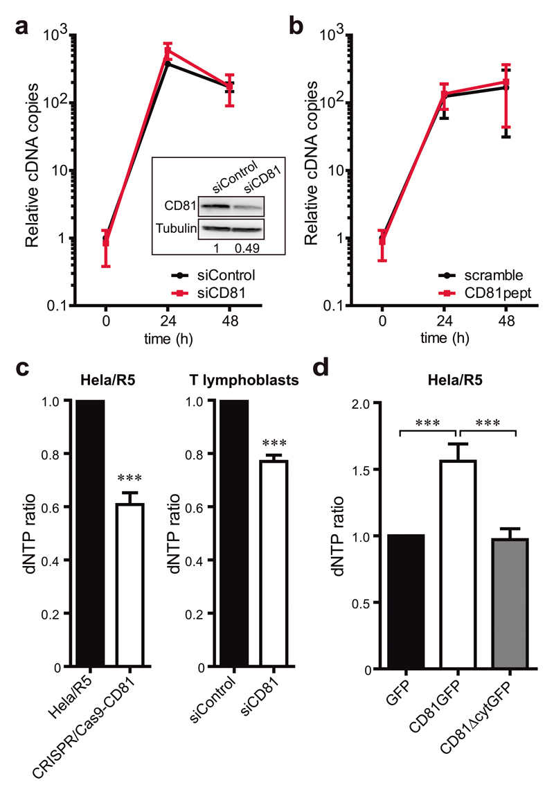 CD81 negatively regulates cellular dNTP content through SAMHD1. a) Jurkat T cells transfected with control or CD81 siRNA were infected with HIV-1 NL4-3 strain, and early RT products were measured by qPCR at the indicated times. Data are mean fold change ± SEM of 2 independent experiments performed in triplicate. In-box shows representative immunoblots of CD81 and tubulin as loading control, and the CD81/Tubulin signal ratio is indicated. b) Jurkat T cells pre-treated with 2μM of scramble or CD81pept for 5 days were infected with NL4-3 strain, and RT was analysed as in a . c) Mean fold change ± SEM of the dNTP content of Hela/R5 or Hela/R5 CRISPR/Cas9-CD81 cells (left graph, 4 independent experiments), and primary T lymphoblasts transfected with control or CD81 siRNA (right graph, 2 independent experiments) measured by a HIV RT-based dNTP assay. Analysis was performed by paired Student t -test, *** p