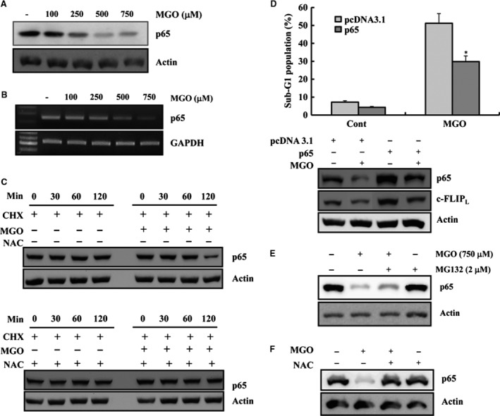 MGO‐induced c‐FLIP L down‐regulation was mediated by the suppression of p65 expression. ( A ) EA.hy26 cells were treated with the indicated concentrations of MGO for 18 hrs. Equal amounts of cell lysates (40 μg) were electrophoresed and Western blotted as described above. ( B ) The cells were treated with the indicated concentrations of MGO for 18 hrs. The total RNA was isolated, and RT‐PCR was performed, as described in Materials and methods . A representative study is shown; two additional experiments yielded similar results. ( C ) EA.hy926 cells were treated with MGO in the presence or absence of CHX for the indicated times (upper panel). NAC plus CHX in the absence or presence of MGO (upper panel). Western blotting was performed with anti‐p65 and anti‐actin antibody (actin served as the loading control). ( D ) After transient transfection with the empty vector or p65 expression vector, the cells were treated with MGO for 18 hrs. Apoptosis was assessed by determining the proportion of cells in the sub‐G1 fraction by FACS. * P