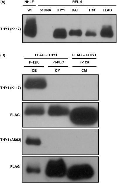 Complete GPI anchor of Thy-1 required for recognition by monoclonal antibodies raised against membrane bound form (A) Mature Thy-1 detected by western blot in the CEs of NHLF and RFL-6 stably transfected with <t>pcDNA3.1/Zeo(+)</t> (pcDNA) or pcDNA3.1/Zeo (+) with a recombinant form of Thy-1 cloned in: WT THY1 (THY1), THY1 – GPI(DAF) (DAF), THY1 – GPI(TR3) (TR3), or FLAG – THY1 (FLAG). (B) Mature Thy-1 detected by western blot in CE containing FLAG – Thy-1 or CM containing PI-PLC released FLAG – Thy-1 or FLAG – sThy-1 using K117 and AS02. After stripping the membranes of antibodies for detecting mature Thy-1, FLAG was detected using M2.