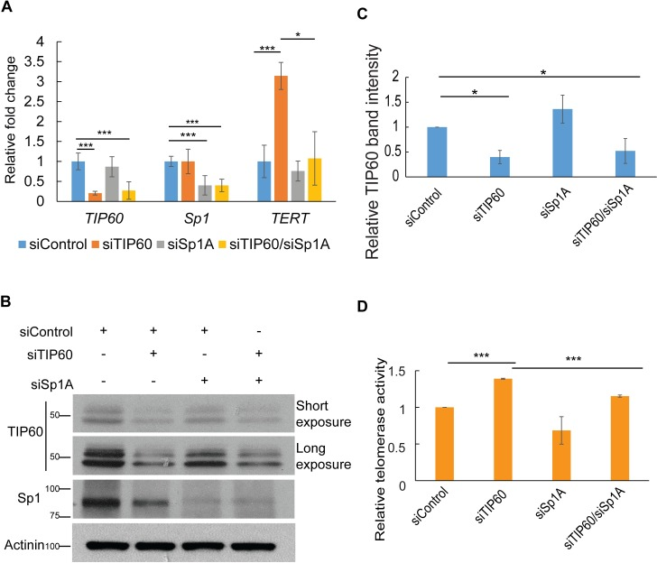 TIP60 inhibits Sp1 function. (A, B) TIP60 and Sp1 were depleted in HeLa cells using siRNA transfection. Cells were harvested 72 h post transfection, RNA and protein was isolated to use for real time PCR and western blotting analysis. Real-time PCR analysis was used to study TERT expression upon TIP60 and Sp1 knockdown. All mRNA expression data was normalized to GAPDH and plotted as fold change. Endogenous TIP60 and Sp1 were detected using anti-TIP60 and anti-Sp1 antibodies respectively. All the bands observed when probed with anti-TIP60 correspond to TIP60 protein since they are specifically reduced upon depletion of TIP60. α-Actinin serves as the loading control for the western blot. ( C ) Quantification of TIP60 bands using Image J software, from three independent experiments has also been depicted. (D) Relative telomerase activity was measured by qTRAP in the same set of samples. Error bars reflect the standard error of mean (SEM) of 3 independent experiments and significance is represented as ***, P