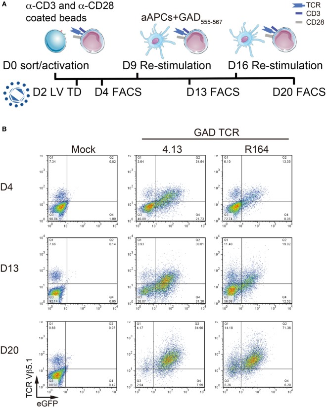 Serial activation increases transduction efficiency. (A) Primary CD4 + T cells remain untransduced (Mock) or transduced with lentivirus (LV TD) expressing T-cell receptor (TCR) clones 4.13 or R164 were activated with α-CD3/α-CD28 coated beads on day 0 (D0). Cells were restimulated with artificial APC (aAPCs; K562 cell line expressing HLA-DR4) and GAD 555–567 peptide for an additional two rounds on day 9 (D9) and day 16 (D16). IL-2 (30 IU/mL) was given every 2–3 days. Transduction efficiency was detected by fluorescence-activated cell sorting (FACS) every 4 days after stimulation (D4, D13, and D20). (B) TCR Vβ5.1 and enhanced green fluorescent protein (eGFP) reporter were assessed by flow cytometry on day 4 (D4, top), day 13 (D13, middle), and day 20 (D20, bottom). At each time point, a portion of untransduced cells were positive for TCR Vβ5.1, but no eGFP was observed. TCR Vβ5.1 and eGFP positivity was observed for 4.13 and R164 transduced cells at each time point, and the proportion of dual positive cells increased with time.