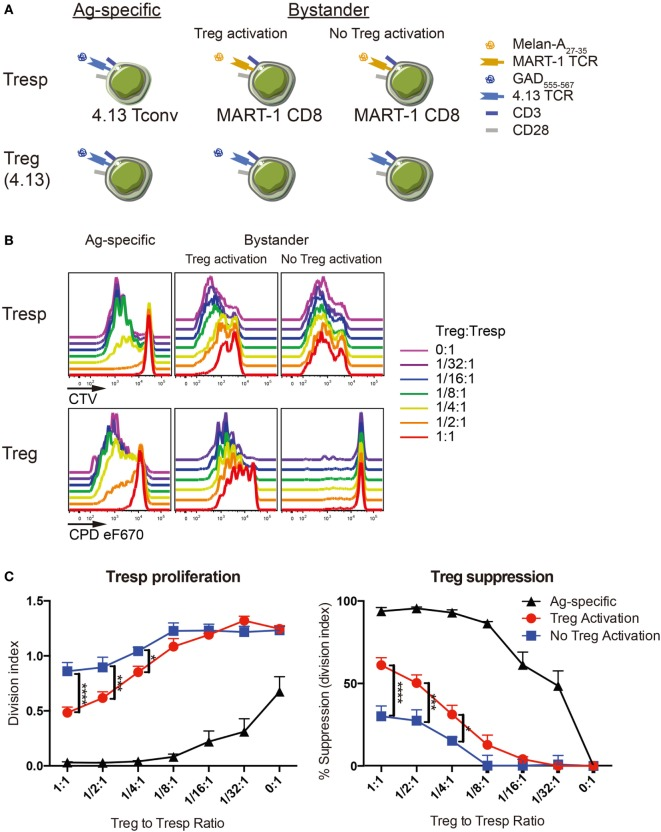 Regulatory T-cell (Treg) suppression is optimal with activation. (A) Antigen-specific suppression by 4.13 Tregs was tested on 4.13 T-cell receptor (TCR) transduced conventional T cells (Tconv) in vitro (left). Bystander suppression by 4.13 Tregs was assessed on CD8 + T cells expressing the melanoma antigen recognized by T cells 1 (MART-1) TCR, with (middle) or without (right) Treg activation. (B) Tregs were isolated from adult peripheral blood and transduced to express glutamic acid decarboxylase (GAD) 4.13 TCR. Transduced Tregs were sorted, labeled with cell proliferation dye (CPD) eFluor670, and plated in decreasing proportions with GAD 4.13 TCR transduced CD4 + responder T cells (Tresp) (Ag-specific) or MART-1 transduced CD8 + Tresp (Bystander) stained with cell trace violet (CTV) dye. For Ag-specific suppression, GAD 4.13 Tresp and Treg were activated with cognate GAD 555–567 peptide presented by CD3-depleted peripheral blood mononuclear cell (PBMC) from an HLA-DR4 individual. For bystander suppression, MART-1 CD8 + Tresp and GAD 4.13 Tregs were activated with Melan-A 27–35 with or without GAD 555–567 peptide, again presented by CD3-depleted PBMC from an HLA-DR4 individual. Cell proliferation was evaluated via dye dilution for Tresp (top) and Tregs (bottom). Tresp proliferation decreased as the Treg to Tresp ratio increased only when Tregs were activated, and suppression was most effective when Treg activation was antigen-specific. Unactivated Tregs exhibited little to no proliferation. (C) Suppression was evaluated by Tresp division index (left) and percent (%) suppression (right). Tresp division index was significantly lower and percent suppression of Tresp proliferation was significantly greater in antigen-specific settings (Ag-specific, black) followed by bystander suppression when Tregs were activated (red). Two-way analysis of variance (ANOVA) (* P