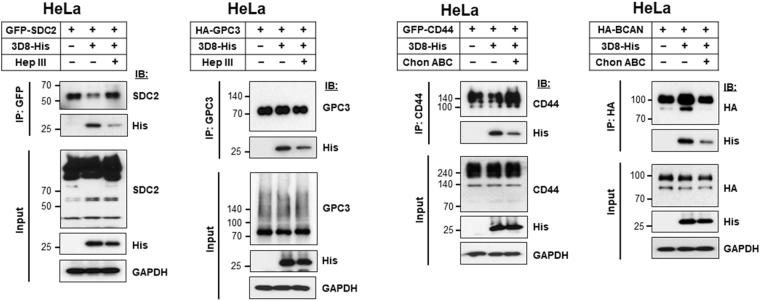 HS and CS chains are responsible for endocytosis of 3D8 scFv. At 24 h post-transfection with plasmids encoding SDC2-GFP, HA-GPC3, CD44-GFP, or HA-BCAN, HeLa cells were treated with 500 mIU/ml heparinase III or 500 mIU/ml chondroitinase ABC for 2 h at 37 °C. Then, cells were treated for 6 h at 37 °C with 3D8 scFv, followed by immunoprecipitation with anti-GFP, anti-GPC3, anti-CD44, or anti-HA antibodies. Proteins in the extract (Input; 10%) and pulled-down fractions (IP) were analyzed by immunoblotting.