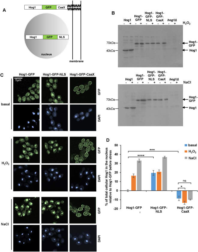 Manipulating the cellular localisation of Hog1. ( A ) Schematic depiction of Hog1-GFP chimeras. ( B ) Western blot analysis of whole cell extracts from wild-type, hog1Δ , Hog1-GFP, Hog1-GFP-NLS and Hog1-GFP-CaaX cells, 0 and 10 min after treatment with 5 mM H 2 O 2 or 1 M NaCl . Blots were probed for Hog1. ( C ) Confocal microscopy of cells expressing Hog1-GFP, Hog1-GFP-NLS, and Hog1-GFP-CaaX constructs, 0 and 10 min after treatment with 5 mM H 2 O 2 or 1 M NaCl. ( D ) Quantification of Hog1-GFP nuclear accumulation. Quantification was performed using Volocity 6.1.1 software and the percentage of nuclear Hog1 (mean ± SEM) relative to that seen in non-stressed cells expressing wild-type Hog1-GFP is shown (n > 10 individual cells). The data were analysed statistically using one-way ANOVA: ns, not significant; *p