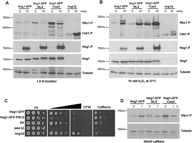 Impact of Hog1 localisation on signal fidelity. ( A ) Cek1 and Mkc1 phosphorylation. Western blot analysis of whole cell extracts from Hog1-GFP, Hog1-GFP-NLS, Hog1-GFP-CaaX, and hog1Δ cells, following 0 and 10 min exposure to 1 M sorbitol or 5 mM H 2 O 2 . Blots were probed for phosphorylated Mkc1 (Mkc1-P) and Cek1 (Cek1-P), stripped and reprobed for tubulin as a loading control. Duplicate blots were also probed for phosphorylated Hog1, stripped and reprobed for total Hog1 (Hog1). Cropped images are shown and full-length blots/gels are presented in Supplementary Figure 4 . ( B ) Stress resistance. Dilutions of mid-exponential C . albicans cultures were spotted onto YPD plates containing no stress (ns) or increasing amounts of calcofluor white (CFW: 20, 30 µg/ml) or caffeine (10 mM) and photographed after 48 h growth at 30 °C. ( D ) Mkc1 phosphorylation in response to caffeine. Blots were processed as described in ( A ) above and full-length blots/gels are presented in Supplementary Figure 4 .
