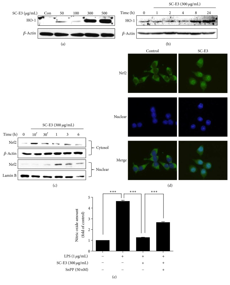 Effects of SC-E3 on the Nrf2/HO-1 signaling pathway in RAW 264.7 macrophages. (a) Induction of HO-1 by SC-E3. Cells were treated with different concentrations of SC-E3 (50, 100, 300, or 500 μ g/mL) for 18 h. (b) Cells were treated with 300 μ g/mL SC-E3 for the indicated times. (c) Nuclear accumulation of Nrf2 by SC-E3. Nrf2 was immunoblotted in the nuclear fractions of cells treated with 300 μ g/mL of SC-E3 for the indicated times. (d) Immunofluorescence images of the nuclear translocation of Nrf2 induced by SC-E3. RAW 264.7 cells were treated with 300 μ g/mL of SC-E3 for 3 h. (e) Blocking of the inhibitory effect of SC-E3 on LPS-induced NO production by SnPP (an HO-1 inhibitor). RAW 264.7 cells were pretreated with SC-E3 (300 μ g/mL) for 1 h in the presence or absence of SnPP (50 nM, 30 min) and then stimulated with LPS (1 μ g/mL) for 18 h. ∗∗∗ p