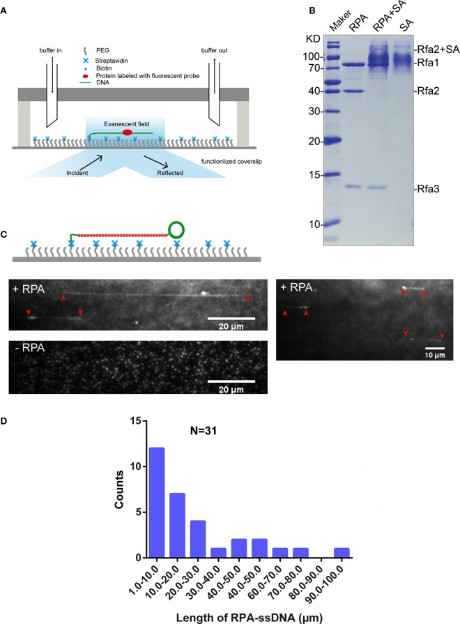 RPA purification and single-molecule visualization. (A) Single-molecule experiment platform. DNA was tethered on the coverslip through a biotin–streptavidin linkage. A protein bound on DNA is illustrated. Flow is from left to right. (B) Purified RPA and its biotinylation extent evaluation. Purified RPA (lane 1); RPA + unboiled streptavidin (SA) (lane 2); unboiled streptavidin (lane 3). Purified biotinylated-Rfa2 was shifted almost completely in the presence of streptavidin. (C) Illustration of streptavidin-coated-Qdot 705 labeled RPA (RPA-Qdot 705 , red) binding on and stretching ssDNA (green), together with flow (top), 0.1 nM RPA-Qdot 705 was pumped into flow cell (middle). 0.1 nM streptavidin-coated-Qdot 705 was pumped into flow cell (bottom). Red arrows point out the two ends of RPA-ssDNA. (D) Length of ssDNA bound with RPA.