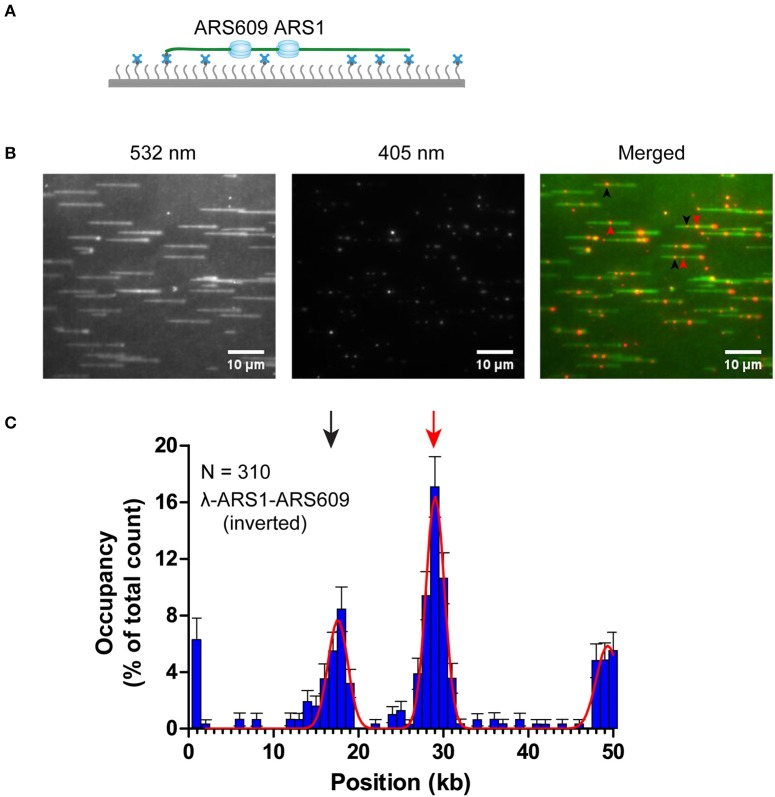 ORC binding on inverted λ-ARS1-ARS609. (A) ORC binding on inverted λ-ARS1-ARS609 together with flow in theory. DNA was biotinylated using the biotinylated oligonucleotide complementary to the right end of native λDNA. (B) ORC-Qdot 705 binding on inverted λ-ARS1-ARS609. (left) DNA was stained using SYTOX Orange and excited using a 532 nm laser; (center) ORC-Qdot 705 was excited using a 405 nm laser; (right) merged images. Three ORC binding positions at ARS1 and ARS609 are indicated by red and black arrows, respectively. (C) Distribution of ORC binding on inverted λ-ARS1-ARS609. Positions of ARS1 and ARS609 inserted sites are indicated by red and black arrows, respectively.