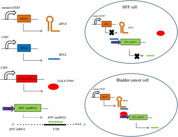 A schematic of the mechanism of synthetic regulatory RNAs. The mutant hTERT promoter drives the expression of aRNA. The amiRNA targeting MYC is driven by UAS. In HFF cells, aRNA cannot be expressed. The iRNA interacts with UAS so GAL4-VP64 cannot bind UAS to activate the expression of amiRNA. Artificial miRNAs can generate miRNAs that interact with the 3′ UTR of MYC mRNA completely and causes MYC mRNA degradation. However, aRNA is overexpressed in bladder cancer cells. The aRNA can interact with iRNA so UAS is exposed to GAL4-VP64 again. Thus, MYC amiRNA will be driven by the UAS and GAL4-VP64 complex
