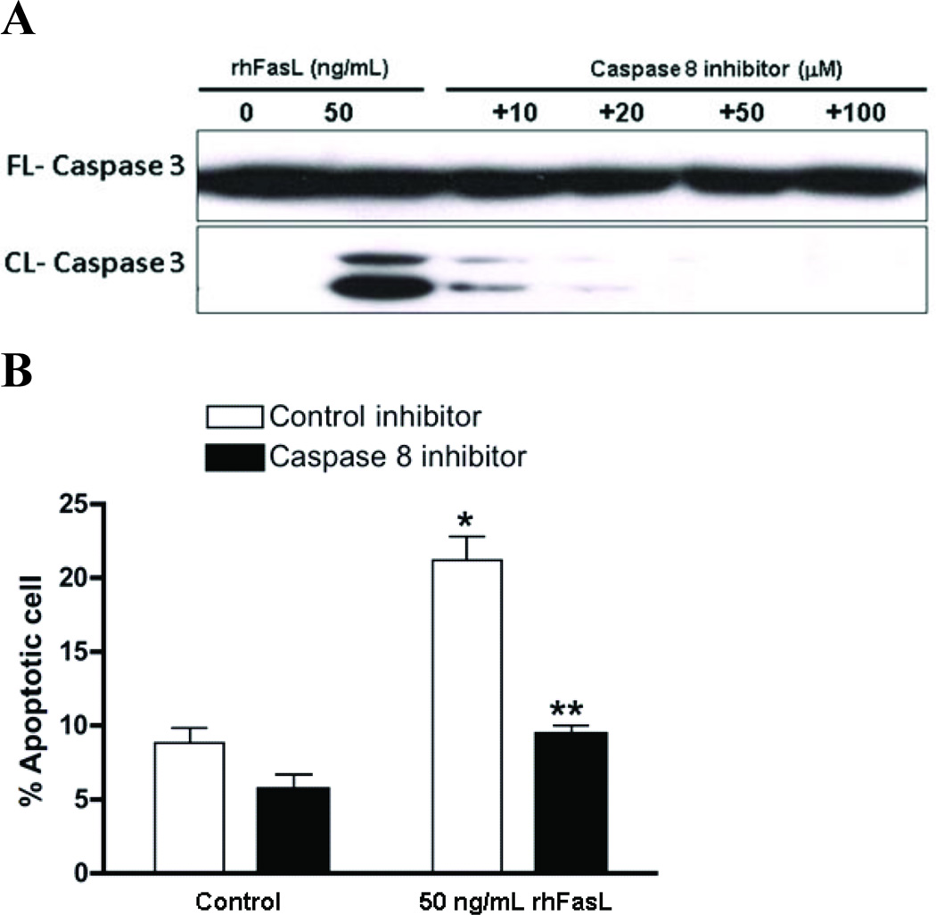 Inhibition of caspase-8 decreases cleaved caspase 3 and abolishes the induction of apoptosis by rhFasL in Thy-1 (+) cells A. Caspase-8 inhibitor was added to a final concentrations indicated for 30 min and then Thy-1 (+) RFL-6 were treated with 50ng/mL rhFasL for 16h. Immunoblotting with anti-cleaved caspase-3 identifies caspase-3 cleavage products in Thy-1 (+) RFL-6. B. Thy-1 (+) cells were pretreated with 20μM of caspase 8 inhibitor negative control or caspase 8 specific inhibitor for 30 min followed by 50ng/mL rhFasL for 16h, and then cells were collected and stained with Annexin V and PI followed by flow cytometry as described in Methods. Bar graph shows average of three independent experiments of FACS analysis with FITC-Annexin V and PI. * p