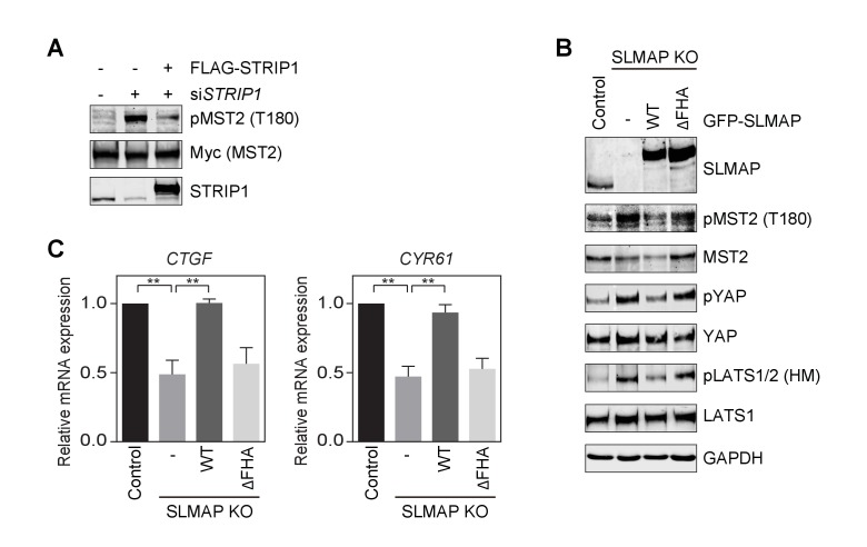 STRIPAK SLMAP inhibits the Hippo pathway in human cells. ( A ) 293FT cells were transfected with siSTRIP1 with or without FLAG-STRIP1. The total cell lysates were blotted with the indicated antibodies. ( B ) Immunoblots with the indicated antibodies of lysates of control MCF10A cells, SLMAP KO cells, and SLMAP KO cells stably expressing GFP-SLMAP WT or ΔFHA. ( C ) Relative expression of YAP target genes CTGF and CYR61 in control MCF10A cells, SLMAP KO cells, and SLMAP KO cells stably expressing GFP-SLMAP WT or ΔFHA. YAP target gene expression was analyzed by quantitative real-time RT-PCR and normalized to GAPDH. Data are plotted as mean ± SEM of three independent experiments (**p