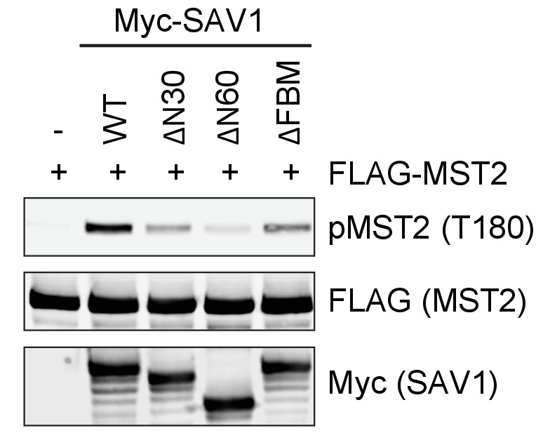 The N-terminal region of SAV1 is required for MST2 activation. Immunoblots of cell lysates of 293FT cells co-transfected with FLAG-MST2 and the indicated N-terminal truncation of Myc-SAV1 constructs. FBM, FERM-binding motif.