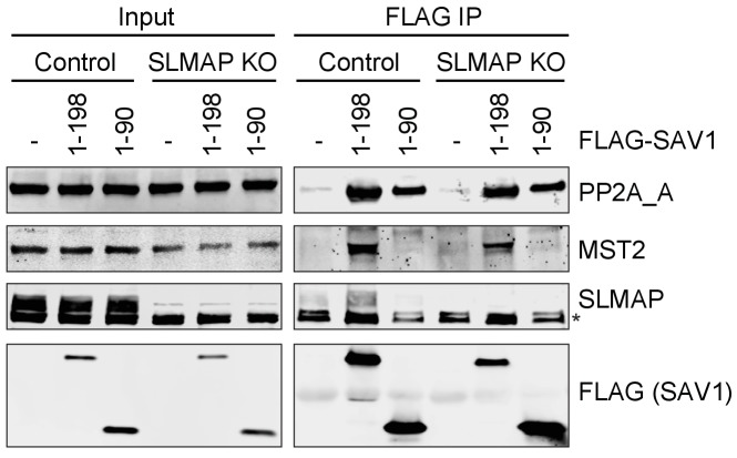 The N-terminal 90 residues of SAV1 associates with PP2A_A subunit in human cells. Control and SLMAP KO 293FT cells were transfected with the indicated FLAG-SAV1 plasmids. Anti-FLAG IP and cell lysates (input) were blotted with the indicated antibodies. Asterisk designates non-specific bands.