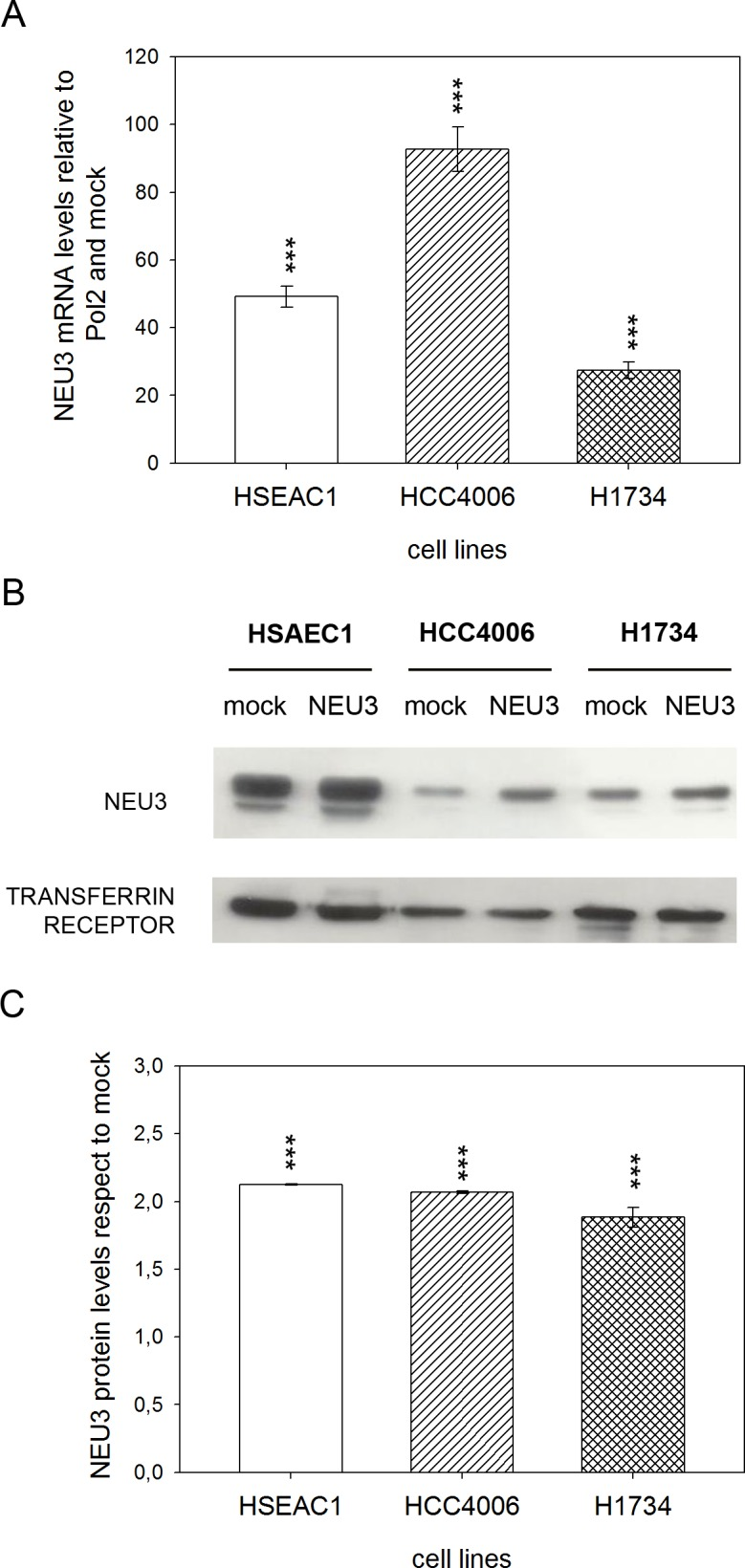 NEU3 transfection evaluation and NEU3 membrane localization. (A) Relative quantification of NEU3 mRNA levels by qPCR on HSAEC1, HCC4006 and H1734 cell lines transfected with either the empty vector (mock) or pcDNA3.1-HsNEU3. (B) Representative Western-blot analyses performed on membrane fractions. Proteins were separated on a 10% SDS-PAGE and probed with anti-NEU3 antibody. Transferrin receptor was used as a membrane marker. The experiments were performed in quadruplicate. (C) Densitometric analysis was performed with Scion Image Software. Values are expressed by comparing the data obtained after transfection with pcDNA3.1-HsNEU3 with those obtained after transfection with the empty vector (mock). Values are presented as means ± standard error (SE). ***p