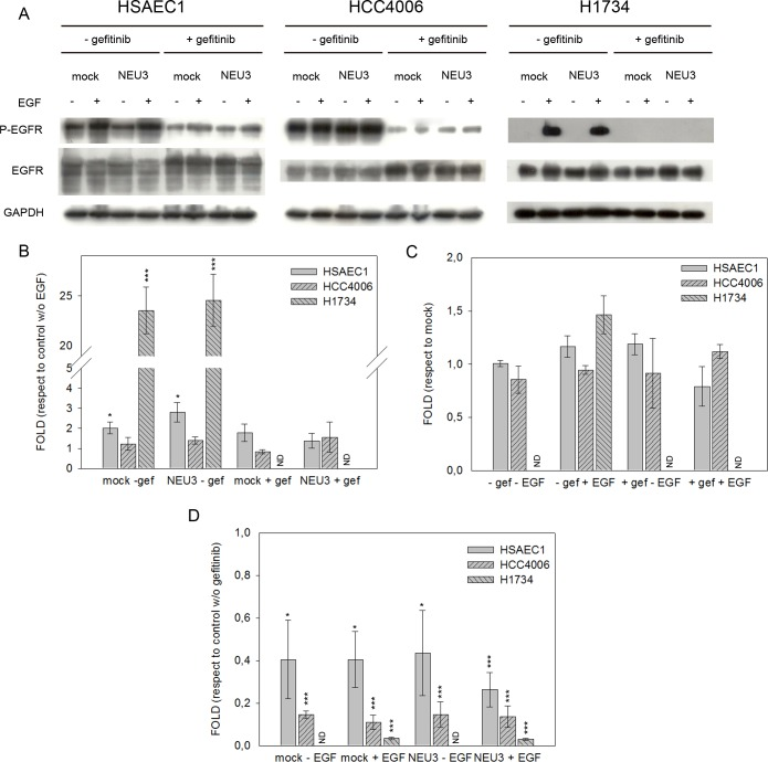 EGFR phosphorylation levels after EGF stimulation, sialidase NEU3 overexpression and gefitinib treatment. (A) Representative Western-blot analyses performed on a normal lung cell line (HSAEC1) and NSCLC cell lines (HCC4006 and H1734) transfected either with the empty vector (mock) or pcDNA3.1-HsNEU3. Cells were treated for 3 h with 1 μM gefitinib, followed by the addition of EGF (20 ng/mL) for 15 min. Protein extracts were separated on a 10% SDS-PAGE and probed with anti-EGFR, anti-P-EGFR antibodies. GAPDH was used as a loading control. The experiments were performed in triplicate. (B)–(C)–(D) Densitometric analysis was performed with Scion Image Software. Values are expressed by comparing the data obtained after EGF stimulation with those obtained in the absence of EGF (B); by comparing the data obtained after transfection with NEU3 with those obtained after transfection with the empty vector (mock) (C); by comparing the data obtained after gefitinib treatment with those obtained without gefitinib administration (D). Statistical analyses were performed using Student's t-test. Values are presented as means ± standard error (SE). *p