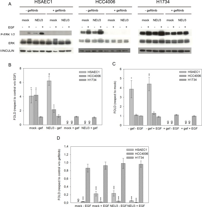 ERK phosphorylation levels after EGF stimulation, sialidase NEU3 overexpression and gefitinib treatment. (A) Representative Western-blot analyses performed on normal lung cell line (HSAEC1) and NSCLC cell lines (HCC4006 and H1734) transfected with either the empty vector (mock) or pcDNA3.1-HsNEU3. Cells were treated for 3 h with 1 μM gefitinib, followed by the addition of EGF (20 ng/mL) for 15 min. Protein extracts were separated on a 10% SDS-PAGE and probed with anti-ERK1/2, anti-P-ERK1/2 antibodies. Vinculin was used as a loading control. The experiments were performed in triplicate. (B)–(C)–(D) Densitometric analysis was performed with Scion Image Software. Values are expressed by comparing the data obtained after EGF stimulation with those obtained without EGF (B); by comparing the data obtained after transfection with NEU3 with those obtained after transfection with the empty vector (mock) (C); by comparing the data obtained after gefitinib treatment with those obtained without gefitinib administration (D). Statistical analyses were performed using Student's t-test. Values are presented as means ± standard error (SE). *p