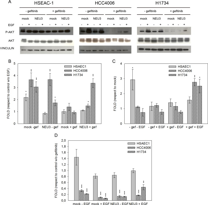 Akt phosphorylation levels after EGF stimulation, sialidase NEU3 overexpression and gefitinib treatment. (A) Representative Western-blot analyses performed on normal lung cell line (HSAEC1) and NSCLC cell lines (HCC4006 and H1734) transfected with either the empty vector (mock) or pcDNA3.1-HsNEU3. Cells were treated for 3 h with 1 μM gefitinib, followed by the addition of EGF (20 ng/mL) for 15 min. Protein extracts were separated on a 10% SDS-PAGE and probed with anti-Akt, anti-P-Akt antibodies. Vinculin was used as a loading control. The experiments were performed in triplicate. (B)–(C)–(D) Densitometric analysis was performed with Scion Image Software. Values are expressed by comparing the data obtained after EGF stimulation with those obtained without EGF (B); by comparing the data obtained after transfection with NEU3 with those obtained after transfection with the empty vector (mock) (C); by comparing the data obtained after gefitinib treatment with those obtained without gefitinib administration (D). Statistical analyses were performed using Student's t-test. Values are presented as means ± standard error (SE). *p
