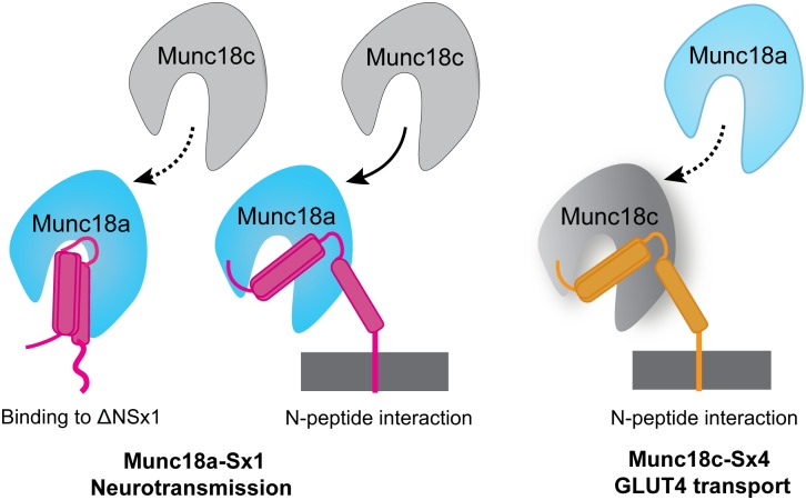 "Specificity of <t>Munc18:Syntaxin</t> interactions. Munc18a (cyan) binds Sx1 (magenta) via two tight binding modes (left hand side). One binding mode occurs in the presence of the Sx1 N-peptide, the other in its absence. ""Non-cognate"" Munc18c (gray) also binds tightly to Sx1, though its interaction with Sx1 lacking the N-peptide is very weak (indicated by dotted line). Munc18c binds more tightly than Munc18a to Sx4 (orange) but neither Munc18 recognises Sx4 lacking its N-peptide. These findings indicate that Munc18a and Munc18c bind Sxs differently. Specifically Munc18a has two tight binding modes/sites for Sx1 one of which does not require the N-peptide binding interaction. Munc18c has one tight binding mode/site for Sx4 or Sx1 that requires the Sx N-peptide."