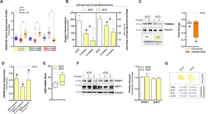 HCD induced mitochondrial dysfunction in on sAT of adult C57BL/6J female mice A. Analyses of data from the publicly available GEO data set (ID: GDS3102) revealed a down-regulation of mitochondrial OxPHOS subunits and TCA enzymes in the sAT of old (28 mo.) versus young (4 mo.) rats. Oppositely, inflammatory cytokines levels were higher in old than young rats. Calorie restriction (CR) significantly improved OxPHOS subunits and inflammatory cytokines gene transcription. Gene expression profile was obtained calculating the fold change of gene expression profile provided by gene expression omnibus (ID: GDS3102). For details related to gene included in our analyses, see Experimental Procedures section. B. Oxygen consumption and mitochondrial membrane potential measured in sAT-derived crude mitochondria of adult female mice 6 and 12 weeks after normal calorie diet (NCD) and high calorie diet (HCD). C. Mitochondrial mass evaluated by analysing the protein levels of mitochondrial TOMM20 in total sAT homogenates 12 weeks after NCD and HCD. Boxes reported below show the percentage of TOMM20 protein in total fraction ( left panel ). Fold change in citrate synthase (CS) activity and mtDNA/nDNA ratio detected in sAT 12 weeks after NCD and HCD ( right panel ). D. Measurement of the mRNA expression of mtDNA-encoded genes in sAT 12 weeks after NCD and HCD. E. NAD + /NADH ratio measured in total homogenates of sAT of mothers 12 weeks after NCD and HCD. F. PARP1 and SIRT1 protein levels and their densitometric analyses ( right panel ) in total homogenates of sAT 12 weeks after NCD and HCD. G. Senescence-associated β-galactosidase activity ( upper panel ) and mRNA expression of inflammatory cytokines ( lower panel ) in sAT 12 weeks after NCD and HCD. Tubulin served as loading control. All data are expressed as mean ±S.D. ( n = 4 female adult mice/group; * p