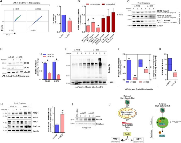 Maternal-HCD induces NAD + decrease, mitochondrial dysfunction and SASP in sAT of newborn mice A. Cytofluorimetric analyses of mitochondrial membrane potential ( left panel ) and enzymatic determination of citrate synthase activity (CS) ( right panel ) in sAT of newborn mice. B. , C. mRNA expression of mtDNA-encoded and nDNA-encoded genes B. and protein levels C. of mitochondrial OxPHOS subunits in sAT of newborn mice. D. SOD2 and UCP1 protein levels ( left panel ) and their densitometric analyses ( right panel ) in sAT crude mitochondria of newborn mice. E. Protein carbonylation in sAT crude mitochondria of newborn mice. F. Oxygen consumption and respiratory control index in sAT crude mitochondria of newborn mice. G. NAD + /NADH ratio measured in total homogenates from sAT of newborn mice. H. Protein levels of PARP1, SIRT1, FoxO1 and its acetylated form ( left panel ), and densitometric analysis of PARP1/SIRT1 protein ratio ( right panel ) detected in sAT of newborn mice. I. Cytoplasmic levels of FoxO1 in sAT of newborn mice. 3T3-L1 lysates served as control of FoxO1 antibody specificity. J. Schematic representation of the m-HCD impact on mitochondrial adaptations and molecular responses in newborn mice. β-Actin and vDAC1 served as loading control. For figures D and E the same loading control was reported. All data are expressed as mean ±S.D. ( n = 6 female newborn mice/group; * p