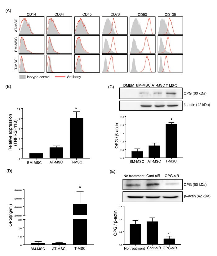 T-MSCs constitutively produce OPG A. The expression of surface antigens on BM-MSCs, AT-MSCs, and T-MSCs were detected by flow cytometry. Cells were negative for hematopoietic cell markers (CD14, CD34, CD45) and positive for CD73, CD90 and CD105. The data show a representative histogram from three experiments. B. BM-MSCs, AT-MSCs, and T-MSCs were harvested and the mRNA expression of TNFRSF11B (OPG encoding gene) was analyzed by real time-quantitative PCR. Data are presented as means ± SEM (* P