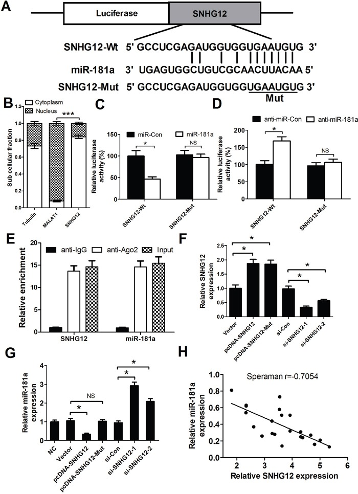 SNHG12 acts as a miR-181a sponge (A) The binding site of miR-181a within the SNHG12. (B) The levels of nuclear control transcript (MALAT1), cytoplasmic control transcript (Tubulin), and SNHG12 were determined by qRT-PCR in nuclear and cytoplasmic fractions and normalized to levels of external RNA. (C and D) Luciferase activity in A549/DDP cells co-transfected with the wipe-type or mutant SNHG12 reporters (SNHG12-Wt or SNHG12-Mut) and (miR-181a mimics or miR-Con) or (anti-miR-181a or anti-miR-Con). (E) Cellular lysates from A549/DDP cells were used for RNA immunoprecipitation (RIP) with Ago2 antibody. Detection of SNHG12 and miR-181a using qRT-PCR. (F) The levels of SNHG12 were detected in A549/DDP cells after pcDNA-SNHG12 or pcDNA-SNHG12-Mut or SNHG12 siRNAs transfection. (G) qRT-PCR analysis was performed to detect the expression of miR-181a in A549/DDP cells after pcDNA-SNHG12 or pcDNA-SNHG12-Mut or SNHG12 siRNAs transfection. (H) Negative correlation between SNHG12 and miR-181a expressions in NSCLC tumor tissues. * P