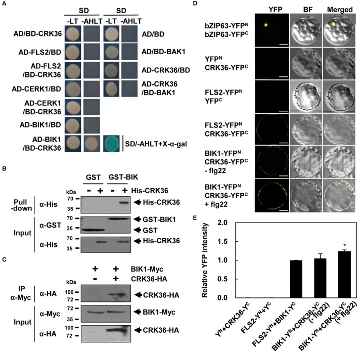 Physical interaction between CRK36 and BIK1. (A) Yeast two-hybrid assay for interaction of CRK36 with PTI components. Cytoplasmic kinase domains of FLS2, CERK1, BAK1, and CRK36 and the full-length of BIK1 were fused with GAL4 BD or AD as indicated. Their interactions were tested on selective medium lacking adenine, histidine, leucine and tryptophan (–AHLT) in the absence or presence of X-α-Gal. (B) In vitro GST pull-down assay for interaction between CRK36 and BIK1. GST or GST-fused BIK1 was incubated with the His-tagged kinase domain of CRK36 and precipitated with glutathione sepharose 4B beads. Proteins were detected by immunoblotting with anti-GST and anti-His antibodies. Input shows 1% of the amount used in binding reactions. (C) In vivo co-immunoprecipitation assay for interaction between CRK36 and BIK1. Protein extracts were prepared from N. benthamiana leaves expressing full-lengths of CRK36-HA and BIK1-Myc, and subjected to immunoprecipitation with anti-Myc antibody. Proteins were detected by immunoblotting with anti-HA and anti-Myc antibodies. Input shows 1% of the amount used in the binding reactions. IP, immunoprecipitation. (D) BiFC assay for interaction of CRK36 with BIK1 and FLS2 in Arabidopsis protoplasts. YFP N , YFP C , and their fusions with bZIP63, CRK36, FLS2, and BIK1 were co-expressed in Arabidopsis protoplasts for 24 h, and then treated with 100 nM flg22 for 15 min as indicated. Reconstituted YFP fluorescence was visualized under a confocal microscope. BF, bright field. Bars, 10 μm. (E) Quantitative analysis of interaction of CRK36 with BIK1 and FLS2 in (D) . YFP fluorescence was quantified based on pixel intensity. Values are means ± SD ( n = 12). Asterisk indicates significant difference between untreated and flg22-treated BIK1-YFP n +CRK36-YFP c ( t -test; * P