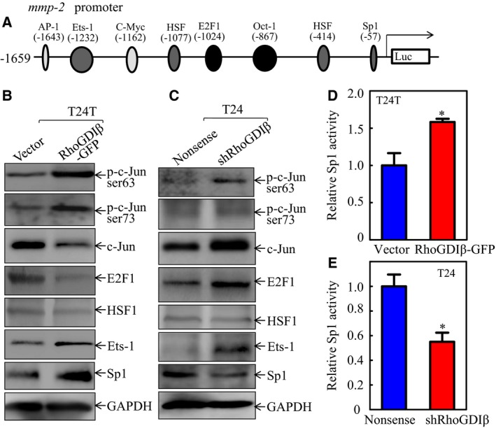 Rho GDI β upregulated Sp1 expression and Sp1‐dependent transcription activity in human BC cells. (A) Potential transcription factor binding sites in human mmp‐2 promoter region. (B,C) The cell extracts obtained from (B) T24T(Vector) vs . T24T(Rho GDI β‐ GFP ) cells or (C) T24(Nonsense) vs . T24(shRho GDI β) cells were analyzed for the activation and expression of the transcription factors as indicated. (D,E) The Sp1‐dependent transcriptional activity was evaluated using Sp1‐dependent luciferase reporter. co‐transfected together with pRL ‐ TK into (D) T24T(Vector) and T24T(Rho GDI β‐ GFP ) cells or (E) T24(Nonsense) and T24(shRho GDI β) cells (E). Twenty‐four hours post‐transfection, the transfectants were extracted to evaluate the luciferase activity. TK was used as an internal control. The results are presented as Sp1‐dependent activity relative to the control vector transfectant, and each bar indicates mean ± SD from three independent experiments. *Significant difference ( P