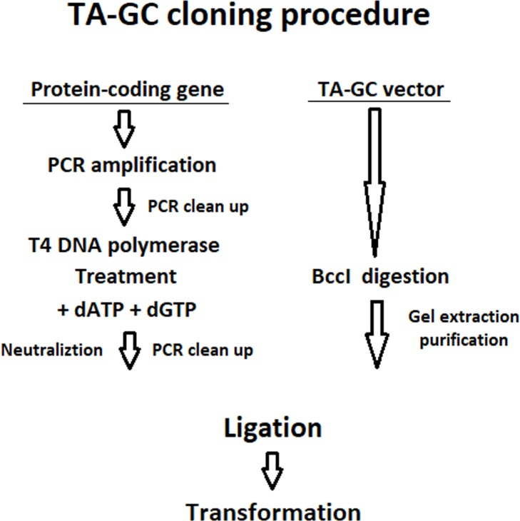 The procedure of TA-GC cloning. The target protein-coding gene is initially amplified using PCR and the PCR product is treated with T4 DNA polymerase. In parallel, the vector is digested with BccI. Afterwards, a ligation reaction between the purified linearized vector and the protein-coding gene is set up followed by transformation in high efficiency chemocompetent E . coli cells.