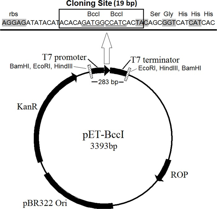 The novel protein-expression vector pET-BccI. The pET-26b (+) derived plasmid has a pBR322 origin of replication, which together with the ROP protein regulates the plasmid copy number per bacterial cell. The kanamycin resistance gene enables positive selection of the transformed E . coli cells in the presence of kanamycin. BamHI, EcoRI and HindIII recognition sites, flanking both sites of the T7 promoter, cloning site and T7 terminator cassette, facilitate the screening of the transformed colonies for the recombinant transformants. The cloning site of pET-BccI, composed of two adjacent reverse BccI recognition sites, provides single 5΄-T and C overhangs after digestion with BccI, which are suitable for the ligation of DNA molecules with complementary edges.