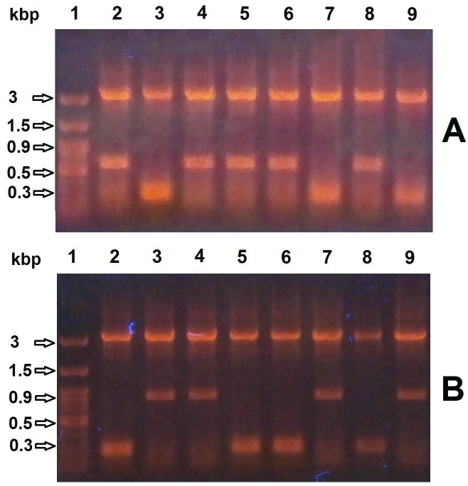 Screening for E . coli colonies transformed with recombinant pET-BccI. Plasmid preparations from cultures inoculated with transformed colonies were digested with BamHI and subjected to electrophoresis. A ) For BRP recombinants pET-BccI screening, the presence of a 283 bp DNA band indicated there was no recombination (A3, A7, A9), whereas the presence of a 636 bp insert DNA band showed a successful recombination (A2, A4, A5, A6, A8). B ) For CAT recombinants pET-BccI screening, again the presence of a 283 bp DNA band indicated there was no recombination (B2, B5, B6, B8), whereas the presence of a 924 bp insert DNA band showed a successful recombination (B3, B4, B7, B9).