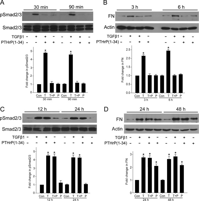Short-term stimulation of PTHrP prevented TGF-β1/Smad signaling and FN up-regulation, whereas long-term treatment of PTHrP did not prevent TGF-β1-induced Smad2/3 phosphorylation and FN up-regulation MCs were pretreated with PTHrP (100 nM, 30 min) before TGF-β1 treatment for the indicated periods. ( A , C ) Smad2/3 phosphorylation was detected by Western blot (* P