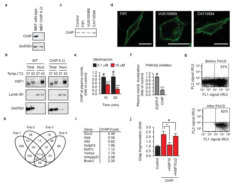 Cellular reorganization by chaperone-free CHIP. ( a ) Murine embryonic fibroblasts (MEF) lacking CHIP (CHIP K.O.) were engineered using CRISPR/Cas9 system. GAPDH was used as loading control. ( b ) HSF1 translocation into nucleus after 60 min at 43°C was analyzed by means of nuclei isolation as detailed in Materials and methods. Lamin B1 and GAPDH were used as markers of nuclei and cytosol, respectively. One representative out of three independent experiments is shown. ( c ) Phospholipase D inhibitors do not affect steady-state levels of transiently transfected EGFP-CHIP-K30A in MEFs as determined by western blotting. Samples were normalized to have the same protein concentration before loading on gel. One representative out of three independent experiments is shown. ( d ) Phospholipase D inhibitors do not affect membrane localization of transiently transfected farnesylated EGFP in MEFs. One representative out of three independent experiments is shown. Scale bar 20 μm. ( e ) Inhibition of type III phosphatidylinositol-4 kinases (PI4KIII) by wortmannin causes an acute undocking of EGFP-CHIP-K30A from cellular membranes (mean ± SD). ***p