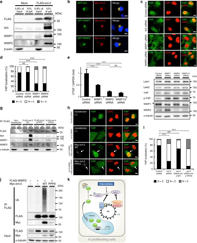 Binding of evectin-2 and Nedd4 E3 ligases is required for the nuclear localization of YAP. a FLAG-tagged evectin-2 was expressed in COS-1 cells for 24 h. Cell lysates with 1% Triton X-100 were immunoprecipitated with anti-FLAG antibody. The lysate (0.8%) and the immunoprecipitated fraction (10%) were then blotted for FLAG, Itch, WWP1, or WWP2. β-actin was used as a loading control. b Indicated proteins were expressed in COS-1 cells. The cells were then fixed, permeabilized, and stained for Myc. c COS-1 cells were treated with control, Itch, WWP1, or WWP2 siRNA for 48 h. The cells were then fixed, permeabilized, and stained for YAP. d Subcellular localization of YAP in cells in c was examined. e COS-1 cells were treated with the indicated siRNAs for 48 h. qRT-PCR analysis of CTGF mRNA was performed. GAPDH was used as an internal control. f The lysate of COS-1 cells in e was immunoblotted for the indicated proteins. α-tubulin was used as a loading control. A closed arrowhead indicates WWP1. g FLAG-tagged evectin-2 protein (WT or mutants) was expressed in COS-1 cells for 24 h. Cell lysates with 1% Triton X-100 were immunoprecipitated with anti-FLAG antibody. The lysate (0.8%) and the immunoprecipitated fraction (30%) were then blotted for FLAG, Itch, WWP1, or WWP2. α-tubulin was used as a loading control. h COS-1 cells that express siRNA-resistant Myc-evectin-2 WT or PPPA mutant in a cumate-dependent fashion were established. These cells were first treated with control or evectin-2 siRNA for 24 h, and incubated with 30 μM cumate for another 24 h. The cells were then fixed, permeabilized, and stained for YAP and Myc. Arrows indicate cells that express Myc-evt-2 WT or PPPA. i Subcellular localization of YAP in cells in h was examined. j FLAG-WWP2 and Myc-evectin-2 were expressed in HEK293T cells for 24 h. Cell lysates with 1% Triton X-100 were immunoprecipitated with anti-FLAG antibody. The immunoprecipitates were then blotted for ubiquitin (Ub), FLAG, or Myc. α-tubulin 