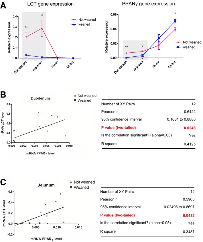 """LCT and PPAR γ genes expression correlate in the rat duodenum and jejunum Comparison of the LCT and PPARγ mRNA levels along the gut of """"not weaned"""" and """"weaned"""" rats. Gene expression level was determined by qPCR of corresponding mRNA. Results represent the mean ± SD of the relative expression normalized to GAPDH level (for each group n = 6). * P"""