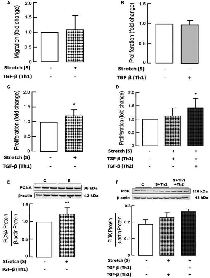 Effect of TGF ‐β in combination with mechanical stretch on PDGF ‐Rα signaling and functional properties of fibroblasts No change in migration of myofibroblasts (MFBs) from newborn WT mice with mechanical stretch ( n = 5 mice/group). Analysis of proliferation (Cell Titer Glo) exhibited no change upon TGF‐β (B) or stretch (C) in mouse myofibroblasts (MFBs) from WT mice, while an increase in proliferation was observed when mouse myofibroblasts stretched in the presence of TGF‐β were subjected to an additional dose of TGF‐β (D) ( n = 9 mice/group). Immunoblot analysis showing increased proliferation markers like PCNA (E) levels with mechanical stretch and PI3K (F) upon additional TGF‐β incubation on stretched myofibroblasts (MFBs) from newborn WT mice ( n = 6 mice/group). Data information: Values here are normalized to respective controls. Data are presented as mean ± SD. Statistical analysis in (A–C, E) is two‐tailed unpaired Student's t ‐test and in (D, F) is ordinary one‐way ANOVA with Bonferroni's correction. ** P