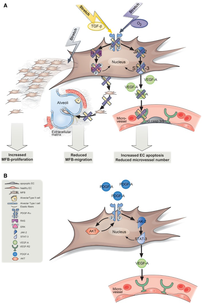 Model for how attenuated PDGF signaling and positive pressure ventilation interact to produce the distinct phenotypic manifestations of nCLD MV‐O 2 in vivo , a combination of O 2 , that is, oxygen and stretch (purple arrow) and/or TGF‐β alone or in combination with mechanical stretch in vitro (yellow arrow), reduces platelet‐derived growth factor receptor α (PDGF‐Rα) levels and its downstream signaling through JAK‐2 and STAT‐3 in the pulmonary myofibroblast (MFB). This reduction in turn abrogates vascular endothelial growth factor expression (VEGF‐A and VEGF‐R2), leading to increased apoptosis in pulmonary endothelial cells (EC). Whereas myofibroblast migration is diminished through reduced RAS and pERK/ERK signaling, stretch alone increases their proliferation, hence depicting the differential effect of the most important denominators of nCLD development in the premature lung undergoing MV‐O 2 . Application of PDGF‐A to premature lung increases PDGF‐Rα levels in an AKT‐dependent manner in turn activating the downstream cascade through JAK‐2, STAT‐3 signaling. This then activates VEGF‐A secretion and VEGF‐R2 activity reducing apoptosis in endothelial cells (ECs).