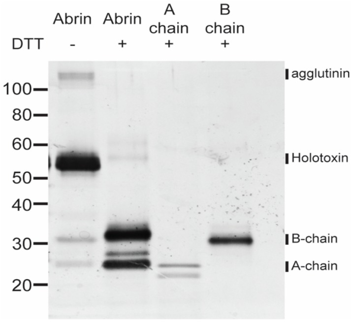 SDS-PAGE analysis of heterogeneous toxin complexes and subunits. An amount of 100 ng per lane of sample (abrin, abrin A-chain, abrin B-chain) treated or not treated with 0.05 M DTT was loaded onto a NuPAGE 4–12% Bis-Tris gel and subjected to SDS-PAGE electrophoresis. The gel was silver stained with the SilverXpress kit. In the absence of the reducing agent, abrin predominantly consists of the holotoxin with small amounts of agglutinin, A-chain, and B-chain. Once reduced with DTT, abrin is almost all reduced to the smaller individual A- and B-chains. The abrin A-chain control sample with DTT has two predominant A-chain species. The reduced abrin B-chain control has one predominant species that is of higher molecular weight than the individual A-chain control.