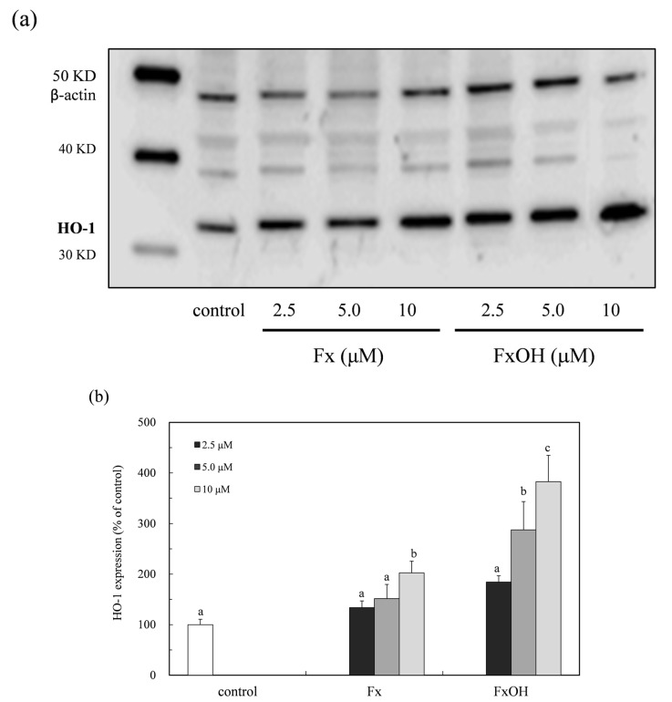 Expression of HO-1 expression due to marine carotenoid, fucoxanthin (Fx) and its metabolite fucoxanthinol (FxOH) in RAW 264.7 macrophage cells. The HO-1 protein expression due to marine carotenoids (2.5–10 μM), the Fx and its metabolite FxOH effect on the Nrf2-ARE signaling in the cells was examined. ( a ) Western blot analysis of the HO-1 protein in the presence of compounds. ( b ) Densitometry analysis of the expression of HO-1 protein. Data were expressed as mean ( n = 3) ± SD. Analysis of data was carried out using ANOVA and Tukey's method for multiple comparisons. A significance p