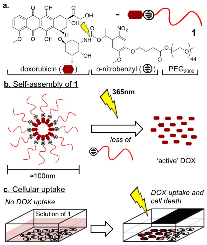 Light activated doxorubicin pro-drug micelles. ( a ) Doxorubicin- ortho -nitrobenzyl-mPEG 2000 construct, 1 ; ( b ) Self-assembly of 1 in aqueous media to 100 nm PEGylated and DOX (doxorubicin)-rich micelles from which quantitative drug release is triggered by light; ( c ) Light directed DOX release, cell uptake, and cell death.